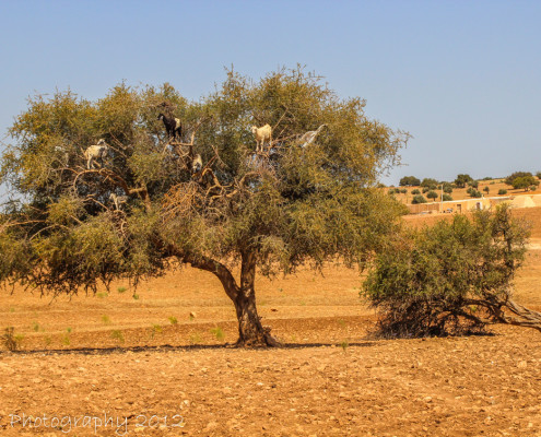 Foto's Marokko - Geitjes in Arganboom