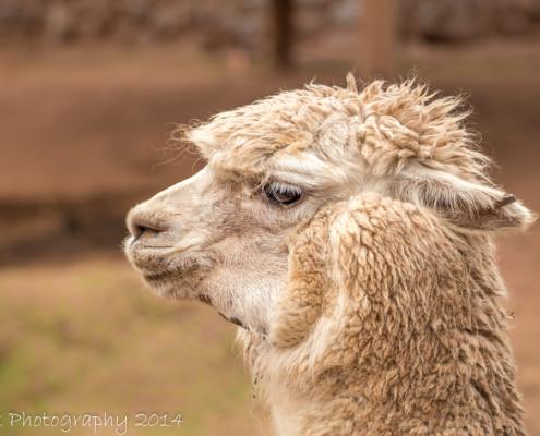 Alpaca close-up, Peru   Tux Photography