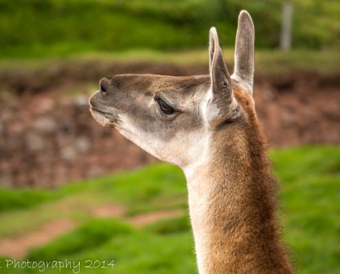 Lama close-up, Peru | Tux Photography