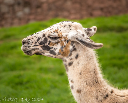 Lama close-up, Peru   Tux Photography